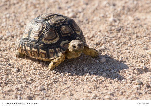Schildkrötenpanzer als Vorbild für Insulinkapsel